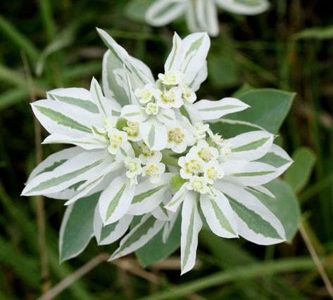Snow-on-the-Mountain (<em>Euphorbia marginata</em>) is one of the most poisonous weed species encountered in Missouri pastures.