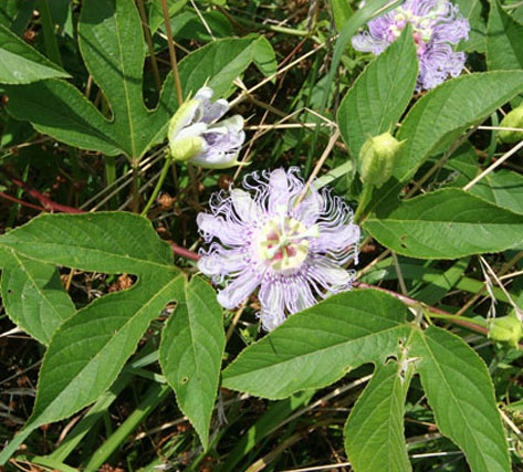 Maypop passionflower (<em>Passiflora incarnata</em>) is an increasing problem weed in a number of Missouri pastures.