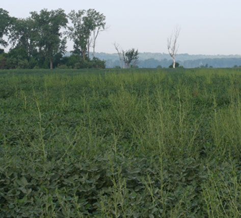 Currently, herbicide-resistant waterhemp fields like this are one of the most problematic weeds in the state.